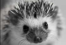 hedgies / hedgehogs, because they are the best / by Molly Tucker