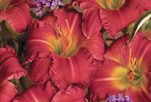 Daylilies / by Leona Eunice Gentry