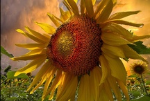 Yellow Happiness   / Keep your face to the Sunshine and you cannot see the shadows. It's what the Sunflowers do. ~ Helen Keller  / by Wilna Van Schalkwyk