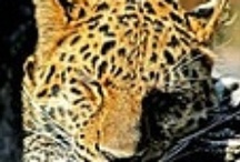 Out of Africa Leopard / by Pieter Smith