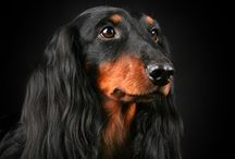 DOGGIES - DOXIES / by Ronni Rittenhouse