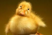 Animals - Baby Ducks / by Kimberly Cadle