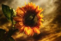 Flowers of the Sun~ / Turn your face up & feel the warmth of the sun~ / by Wanda Haynes