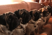 pugs / by Shelby Rohr