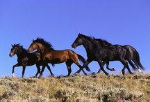 ANIMALS: Wild Horses / Beautiful horses of different breeds in various settings. / by Angela Thompson