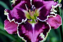 Daylilies / Different verities of Daylily flowers. / by William B. Wilkins