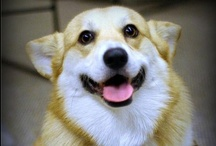 Corgis ♥ / We love Corgis, just as much as the rest of the internet! Check out www.petcarerx.com for the best supplies for corgis (and more)!  / by PetCareRx