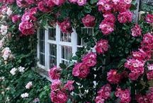 ~ Rosalicious ~ / All about old roses and other glorious roses  / by Lisa