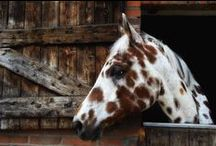 """Appaloosa Love / I love to see spots, so I've included Knabstruppers, Tigers, Arappaloosas, Pintaloosas,  and Walkaloosas on this board, along with several other breeds that make us """"see spots!"""" / by Sharon Pratt"""