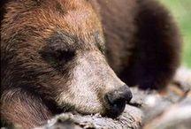 Oh So! / Bears, Grizzlies, & Polar Bears / by Ethan Plank