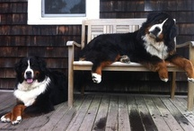 Pooches / Sometimes, you just need to look at some fluffy puppies ;) / by Laura Young
