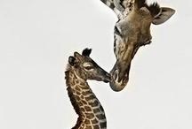 Giraffes!!   / by Rebecca G