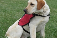 Assistance Dogs & Pups / by AngelPaws