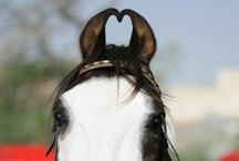 Rare Horse Breeds / by ilovehorses.net
