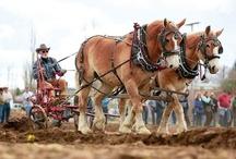 Working Horses / by ilovehorses.net