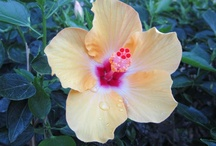 Maui Flora (flowers) / Jeanne and I have been born of a family that loves flowers.  Most of our trips to the islands of Hawaii will include the enjoyment of an experience of 'life' through flora. / by Rich Hoback