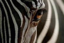 All things Zebra / by Cynthia Daniels