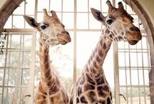 we love giraffes / by Kendra Osburn