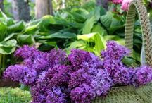 Sweet Lilac / by Cheryl Stoltzfus