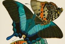 Butterfly Illustrations / by Insect Lore