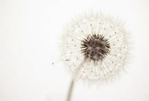 dandelions / by Lotte-Marijn Millar