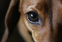 I Love Hot Dogs! / You really haven't lived until you love a dachschund! / by Donna Tyson