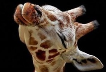 Carson-Dellosa Loves Giraffes! / It's as simple as that. They're cute, funny, and we love them! / by Carson-Dellosa