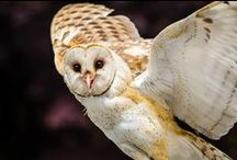 Owl Species / For the Love of owls! / by Emma Maytum
