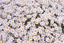 Daisy, daisy... / My absolute favorite of favorites flowers. / by Sara Richards