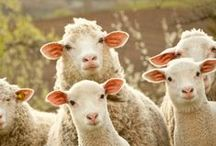 Sheep / by Shannon Kennedy-Kahler