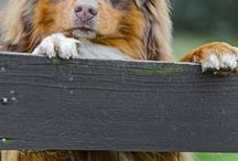 AUSSIES ...treats + more / Love all doggies. Australian shepherds are my favorites! / by Pamela Silbaugh