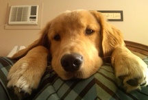 Goldens are THE Best / by Debbie Simko