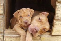 Pitbulls! / I love pitbulls! / by Dannah Steele