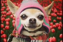 Chihuahuas / by Buster Boo