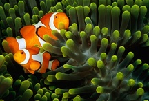 Ocean Marine Life & Sea Critters / One of my hobbies is scuba diving and this is a collection of the many wonderful species of ocean marine life that you see while scuba diving / by Stephanie Lackey