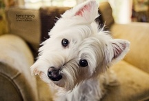 Zito Puppy Loves / Westie and German Shepherd / by Tayler Zito