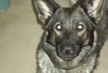 GSD / by Mary Liles