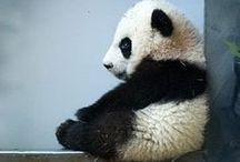 panda panda panda / by Janie Thomas