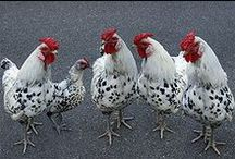 Chickens / The chicken is a domesticated fowl, a subspecies of the Red Junglefowl.  / by Neva Kennedy