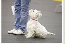 Westie & Co. / West Highland Terrier  / by Kym Johnson