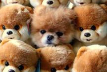 Adorable ~  ⊱Boo The Pomeranian⊰ / by Viola Chow