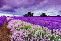 All Things Lavender / Lavender fields, lavender blooms,  lavender, lavendar / by Suzie Johnson