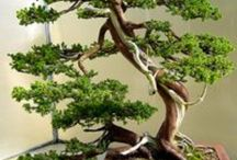 Bonsai / by June Tamaki