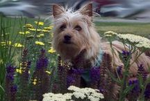 Lily our silky terrier / by Silke * Jager Web Design
