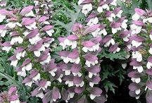 Acanthus (Bear's breeches) / All about Acanthus (Bear's breeches). If you want to add pins to this board please add a note on our Facebook time line http://www.facebook.com/ShootGardening with the name of the board(s) you want to pin to. No ads please. / by Shoot Gardening