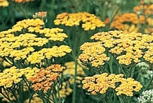 Achillea (Yarrow) / All about Achillea (Yarrow) Plants. If you want to add pins to this board please add a note on our Facebook time line http://www.facebook.com/ShootGardening with the name of the board(s) you want to pin to. No ads please. / by Shoot Gardening
