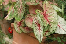 Caladium (Angel wings) / All about Caladium (Angel wings) Plants. If you want to add pins to this board please add a note on our Facebook time line http://www.facebook.com/ShootGardening with the name of the board(s) you want to pin to. No ads please.