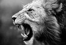 Kings  / King of the jungle. Earth shaking roar. Majestic. Beautiful. Lions. / by Jenna Kravitz