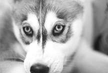 Husky Love  / by Kristinas Pinterest