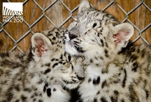 Snow Leopard Cubs / Endangered snow leopard cubs born at Woodland Park Zoo on May 2, 2012. Two sisters, Asha and Shanti, are now on view! / by Woodland Park Zoo